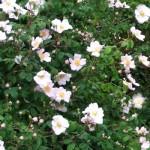 Rosa canina Busch