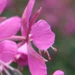 Weidenröschen Blüte