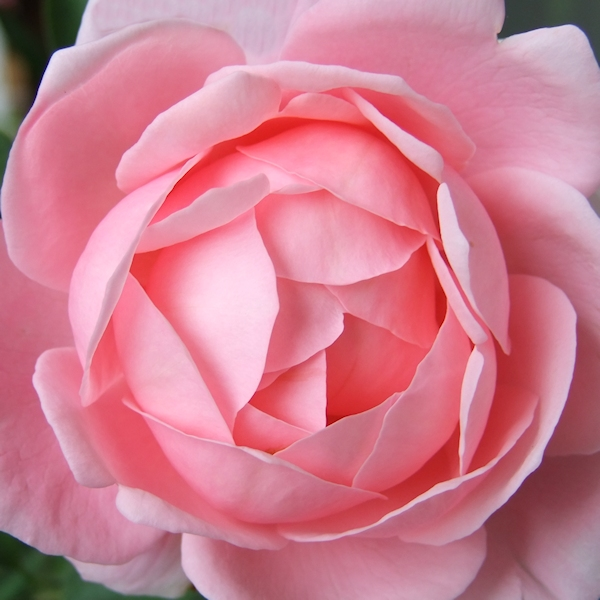 Rosenhochzeit Romantik Pur Am 10 Hochzeitstag Rosenenergie