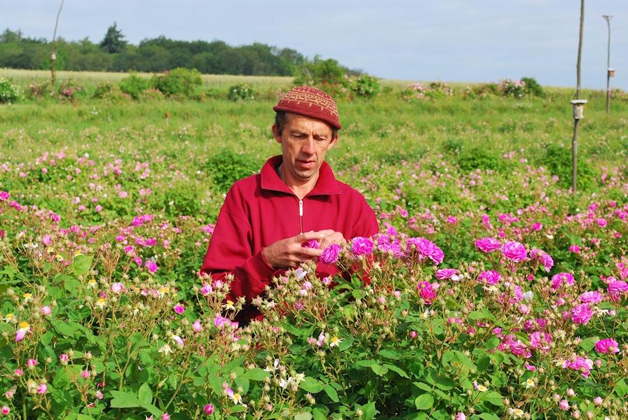 Reinhold Schneider bei der Rosenernte