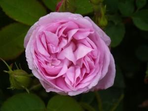 """Rose """"Errötende Taubertälerin"""""""