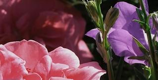 rosavioletta