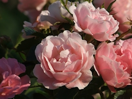 berall bl hen rosen rosenenergie. Black Bedroom Furniture Sets. Home Design Ideas