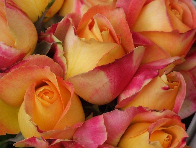 Zweifarbige Rosen gelb-rosa