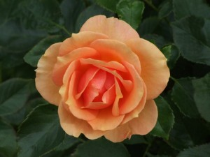 rose-farbe-apricot