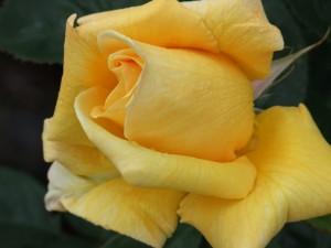 rose-farbe-gelb
