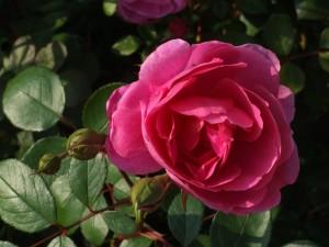 rose-farbe-pink