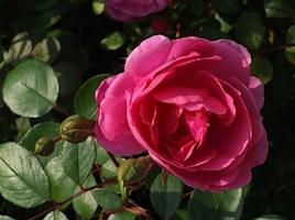 rose-farbe-pink-ab-268x200