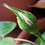 Blattläuse ein Tag nach Kernseifenlauge