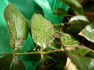 Schadbild Blattläuse mit Honigtau und Exuvien