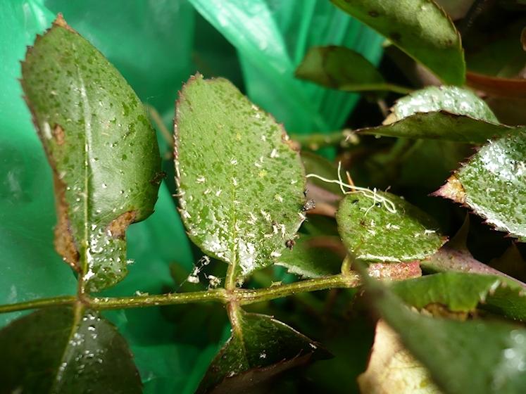 Geliebte Blattläuse an Rosen mit Seifenlauge beseitigen • Rosenenergie #SM_16