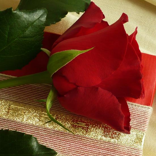 Valentinstag-rote-Ros